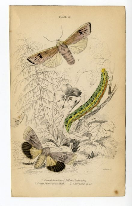1836 MOTHS JARDINES Antique Print YELLOW UNDERWING Sword Grass CATERPILLAR Engrave by William Lizars  H